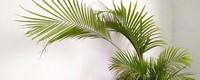夏威夷椰子和凤尾竹有什么区别