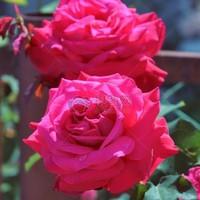 红色牡丹花图片做头像