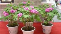 盆栽牡丹花的方法