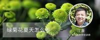 绿菊花夏天怎么养