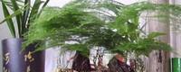 剪下的文竹可以水培吗,怎样插活?