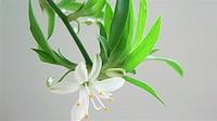 吊兰开花的寓意是什么