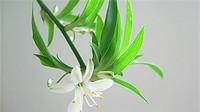 吊兰开花是什么兆头