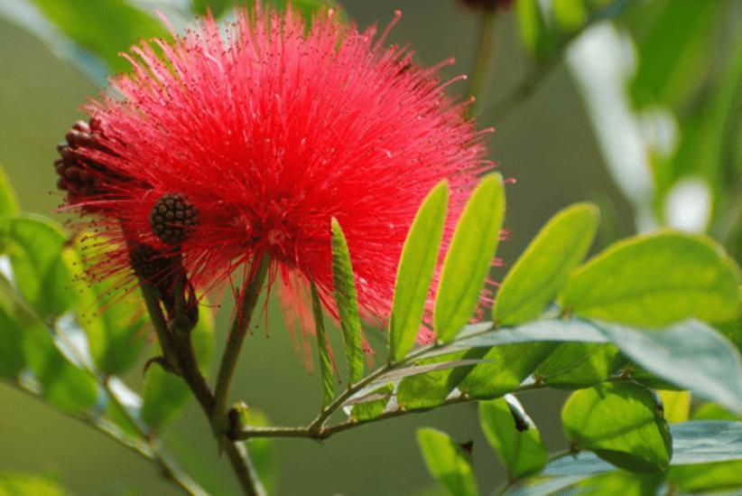合欢花为什么叫苦情花?它有什么寓意呢?
