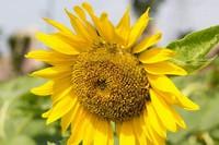 如何种向日葵