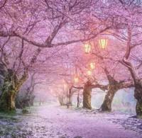 樱花树怎么种植,樱花树的种植方法和