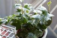 长春藤有毒吗,长春藤可以放在卧室吗/无毒养在室内好处多