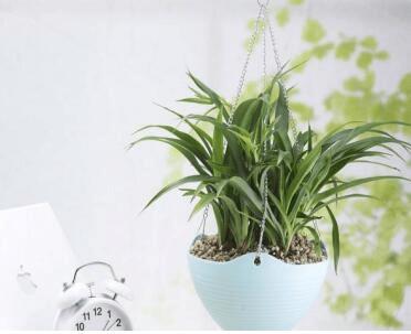 适合室内垂吊的植物有哪些?他们在生活中扮演着什么样的角色?