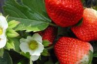 草莓苗种植方法,秋季栽植并注意水肥