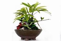 棕竹的养殖方法,棕竹怎么养