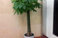 发财树有毒吗放家里,没有毒/净化空气还可以招宝进财