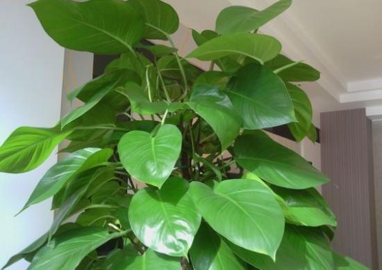 大叶绿萝的养殖方法和注意事项:积水
