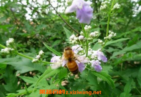荆条蜜的功效与作用及食用禁忌