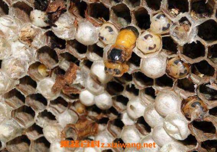 野生蜜蜂窝可以吃吗 蜜蜂窝怎么吃最好