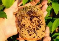蜜蜂窝泡酒有什么功效 蜂窝泡酒的作用与功效