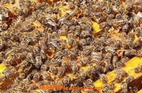 蜜蜂夏季养殖注意有哪些事项 夏季蜜蜂养殖的注意事项
