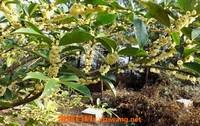 野桂花蜜的作用与功效 喝野桂花蜂蜜的好处