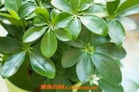七叶莲的功效与作用及药用价值