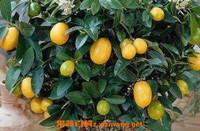 金桔树怎么养 金桔树的养殖方法技