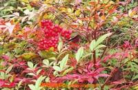 南天竹的功效与作用 南天竹的养殖方法