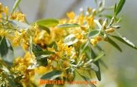 沙枣花蜂蜜的作用与功效 吃沙枣花蜂蜜的好处
