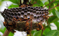 干蜜蜂的功效与作用