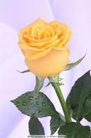 一朵像水一样的玫瑰花图片大全