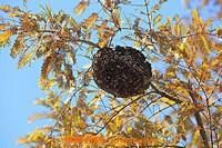 马蜂窝有什么药用价值 马蜂巢是什么做的