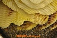 野蜂巢泡酒的功效和作用
