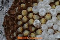 马蜂蛹泡酒的作用与功效 马蜂蛹吃了有什么用