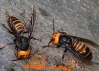 虎头蜂泡酒有什么功效 虎头蜂泡酒的药用价值