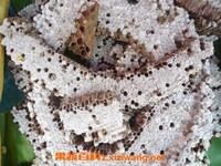 黄蜂蛹的功效与作用 吃黄蜂蛹的好处