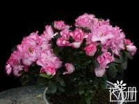 比利时杜鹃几月开花,比利时杜鹃一年