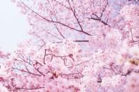 樱花树怎么种植