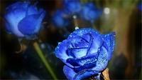 蓝色妖姬代表什么意思