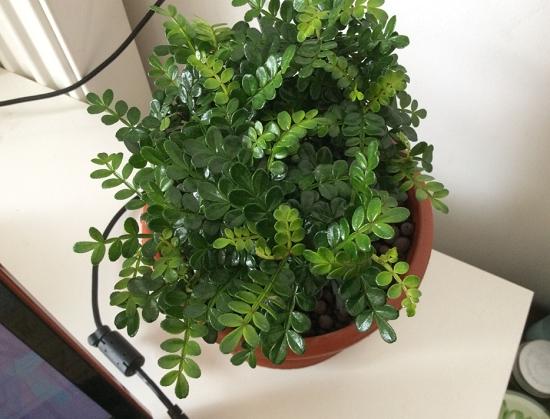 清香木和胡椒木有什么区别:从叶子,果实和气味上区别他们