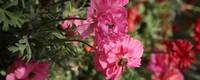 康乃馨花语是什么