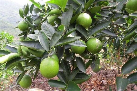 家养柠檬树注意事项,摆放向阳处加强