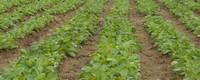 种植地黄一亩利润多少