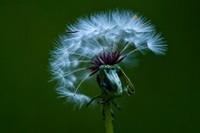 蒲公英花语及象征意义,代表离别的凄美