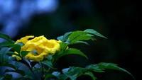 黄蝉花语是什么?黄蝉花的价值又有哪些?