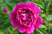 平阴玫瑰的养护方法