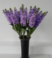紫罗兰花束图片大全