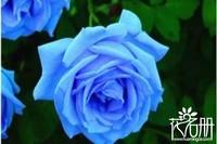 蓝色妖姬是什么花,蓝色妖姬适合送什么人(情人、爱人)