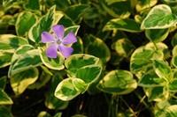 花叶蔓长春的生长环境如何,不仅对土