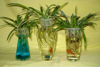 水培吊兰为什么要换水,换水需要注意