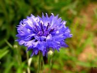 德国国花矢车菊的花语是什么呢?一起来了解一下吧!