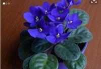 紫罗兰花叶图片大全