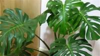 龟背竹叶子发黄怎么办