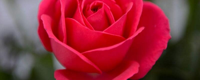 送玫瑰花朵数的含义